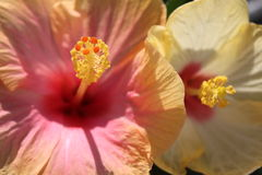 Hibiscus flowers macro Royalty Free Stock Photography