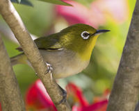 Japanese Round-eye Royalty Free Stock Images