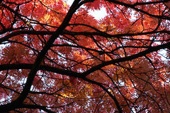 Japanese Rowan tree in Autumn. Low angle view of leafy red Japanese Rowan tree in Autumn Royalty Free Stock Photography