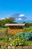 Japanese rural agriculture scene with dry corn and Mount Fuji Royalty Free Stock Photos