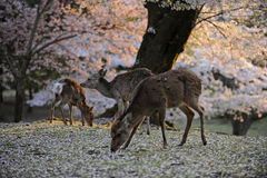 Japanese sacred deer during cherry blossom season. Three sacred dear near temples at Nara, Japan, while cherry blossoms fall to the ground Royalty Free Stock Photos