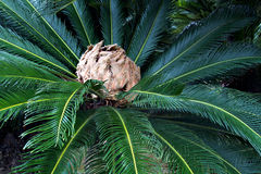 Japanese sago palm rosette with inflorescence. Japanese native sago palm rosette of stiff pinnate leaves surrounding soft feather-like female inflorescence Stock Photography