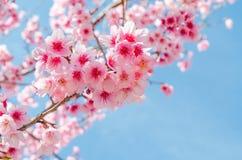Japanese sakura and blue sky in chiang mai thailand Royalty Free Stock Image