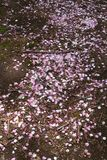 Japanese Sakura Cherry Blossom Petals Royalty Free Stock Images