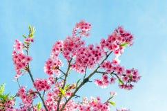 Japanese sakura cherry blossom with soft focus and color filter. Japanese sakura cherry blossom with soft focus and vintage color filter royalty free stock photos