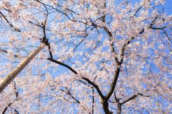 Japanese cherry blossoms in full bloom royalty free stock images