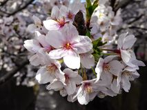 Japanese sakura. Cherry photographed full bloom in Japan Stock Photo