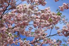 Japanese sakura in Latvia in Riga. Photo made in spring Stock Images