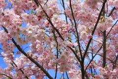 Japanese sakura in Latvia in Riga. Photo made in spring Stock Photography
