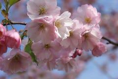 Japanese sakura in Latvia in Riga. Photo made in spring Royalty Free Stock Photo