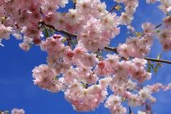 Japanese sakura in Latvia in Riga. Photo made in spring Stock Photos