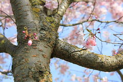 Japanese sakura in Latvia in Riga. Photo made in spring Royalty Free Stock Photos