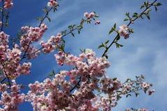 Japanese sakura in Latvia in Riga. Photo made in spring Royalty Free Stock Photography