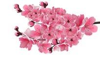 Japanese sakura. Lush branch dark pink cherry blossom close-up. Stock Photo