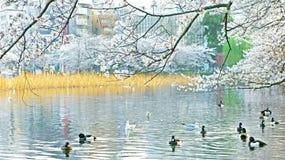 Japanese sakura public park with blossom flowers Royalty Free Stock Photo