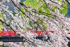 Japanese Sakura Season Royalty Free Stock Images