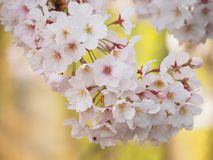 Japanese Cherry Blossoms in Bloom royalty free stock photos