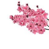 Japanese sakura. Three lush branch dark pink cherry blossom close-up.  Stock Photo