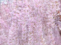 Japanese Sakura tree Stock Photography