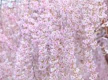 Japanese Sakura tree Stock Photography