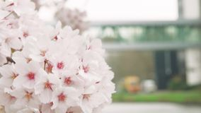 Japanese sakura tree in wind stock footage
