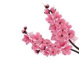 Japanese sakura. Two lush branch dark pink cherry blossom close-up. Stock Images