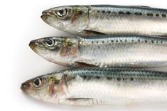 Japanese sardine, japanese pilchard Royalty Free Stock Photos