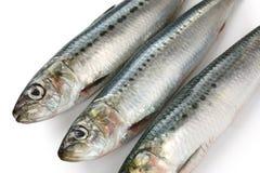 Japanese sardine, japanese pilchard Stock Image