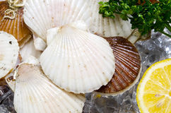 Japanese scallop Royalty Free Stock Image