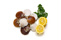 Japanese scallop Stock Image