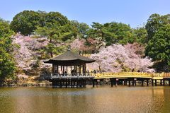 Japanese scape with cherry blossom Royalty Free Stock Image