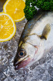 Japanese sea bass-Lateolabrax japonicus Royalty Free Stock Images