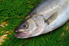 Japanese sea bass-Lateolabrax japonicus Stock Photography