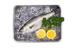 Japanese sea bass-Lateolabrax japonicus Stock Images