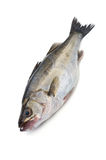 Japanese sea bass-Lateolabrax japonicus Stock Image