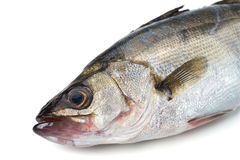 Japanese sea bass-Lateolabrax japonicus Royalty Free Stock Photo