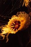 Japanese sea nettle Jellyfish, Chrysaora pacifica Stock Photos