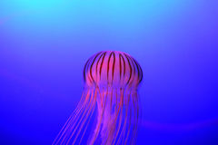 Japanese Sea Nettle Jellyfish Chrysaora pacifica Royalty Free Stock Images