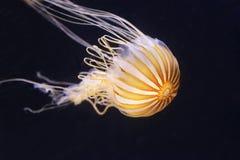 Japanese sea nettle Royalty Free Stock Image