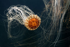 Japanese Sea Nettle Royalty Free Stock Images