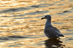 Japanese sea, seagull on the shore at sunset Royalty Free Stock Images