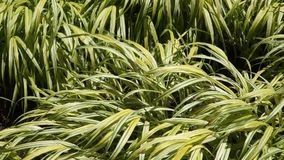 Japanese Sedge Grass stock video