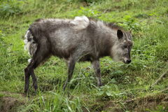 Japanese serow Stock Photography