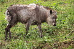Japanese serow Royalty Free Stock Images