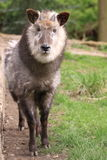 Japanese serow Stock Photos