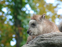 Japanese Serow Stock Images