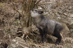 Japanese serow, Capricornis crispus, Royalty Free Stock Photography