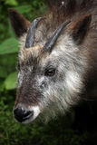 Japanese serow (Capricornis crispus). Royalty Free Stock Image