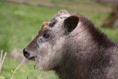 Japanese serow detail Royalty Free Stock Images