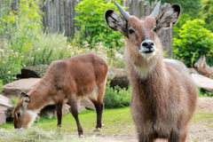 Japanese serow goat Capricornis crispus stock images